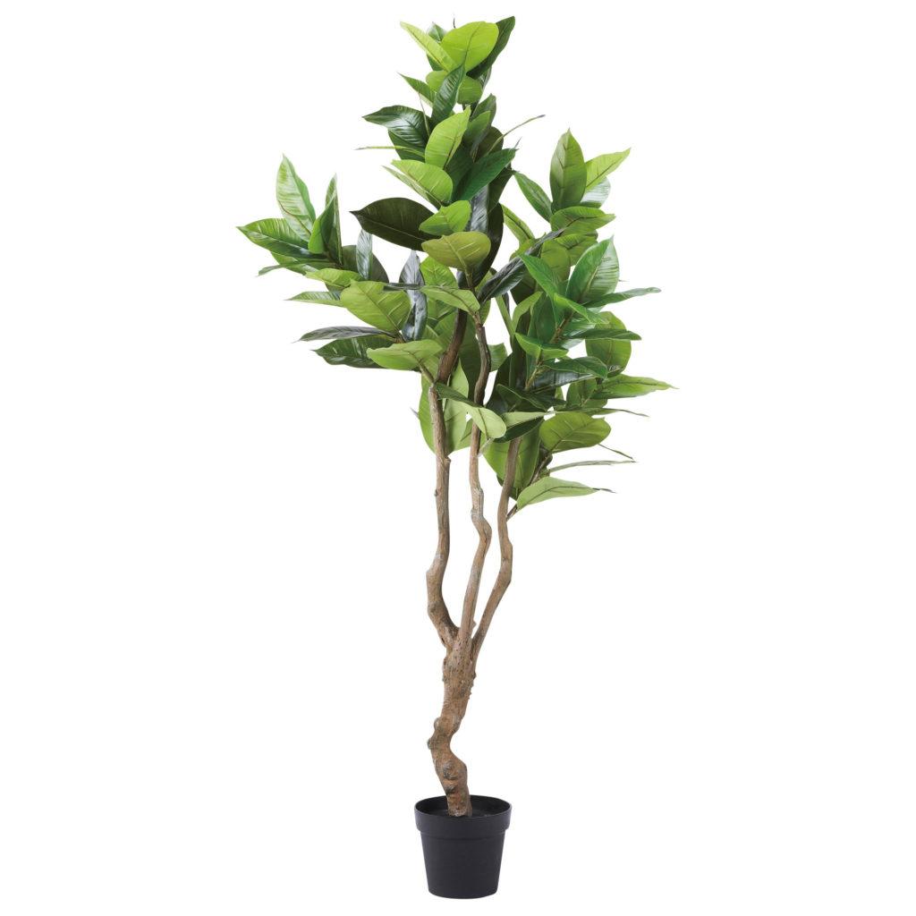 観葉植物・ゴムの木-WD-06
