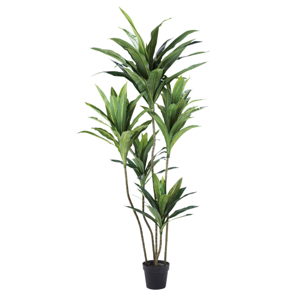 観葉植物・ドラセナ-WD-14