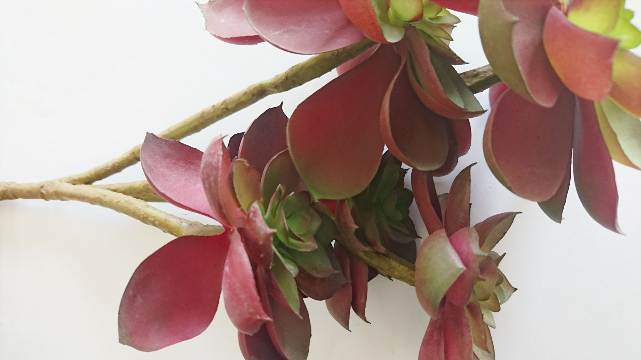 サキュレント(赤)/ YJ-18006